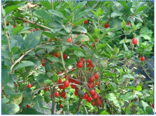 wolfberry ( Lycium chinense Miller) plant