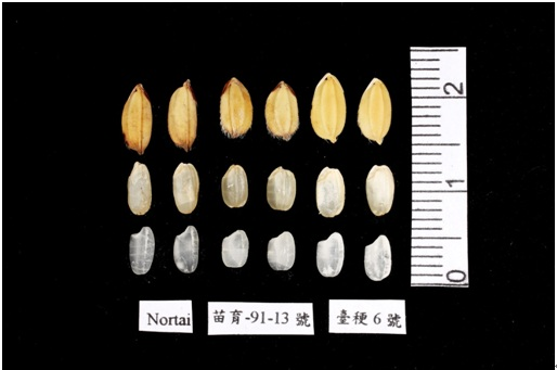 Fig. 3. Grain, brown rice and milled rice of 「Miaoli No. 1」 (middle), Nortai (left), and TK6 (right), respectively.