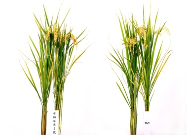Fig. 4. Plant type of 「Miaoli No. 2」 (left) and TK9 (right), respectively.